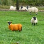 Warum immer nur schwarze oder weiße Schafe