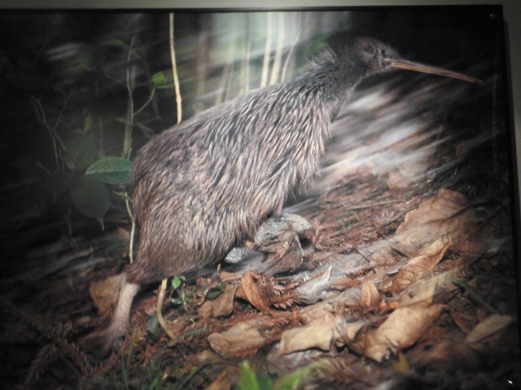 Kiwi DSCN0955