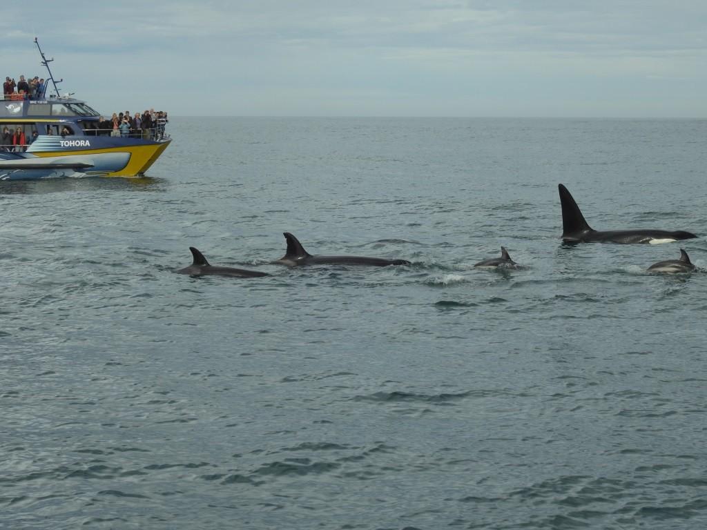 Orca mit Delphinen