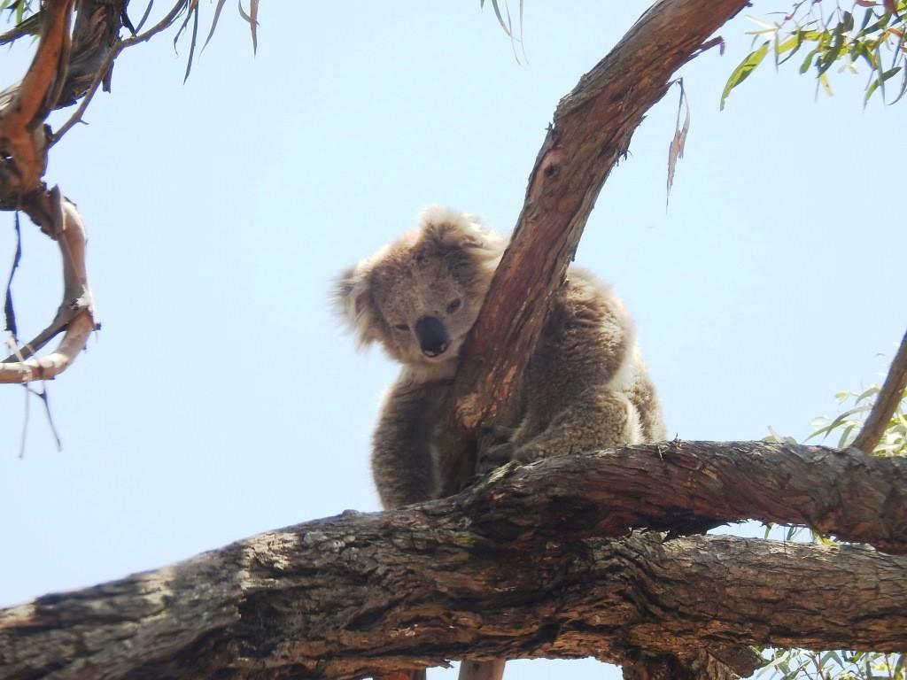 Koala DSCN7291
