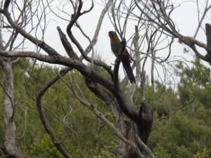 Papagei DSCN7369