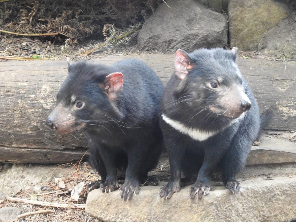 Tasman Devils